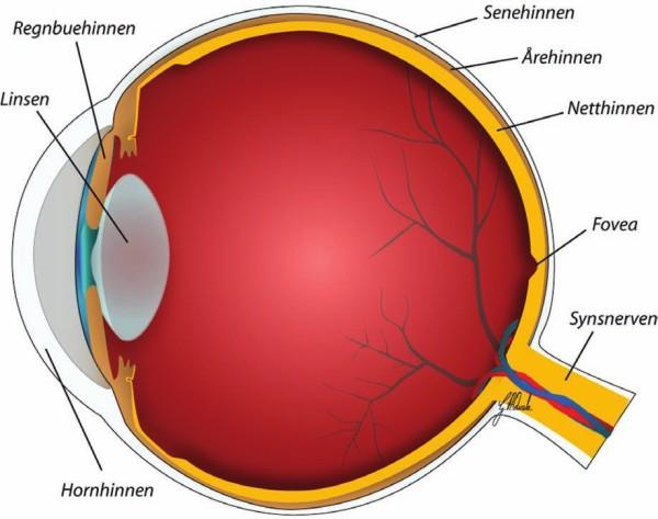 Detaljert illustrasjon av hele øyet, sett fra siden