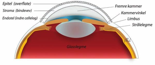 Detaljert illustrasjon av øyets fremre del, sett ovenfra