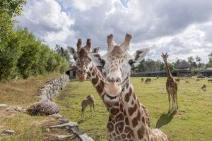 Giraffer kommet nysgjerrig fotografen i møte i Dyreparken