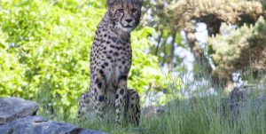 Gepard studerer fotografen på avstand i Dyreparken